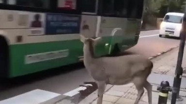 This deer waited at the crossing and recognized when people were letting her go 🤣